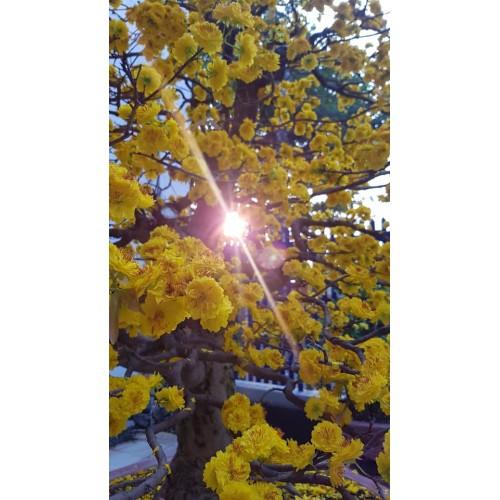Cách chăm sóc mai vàng ra nhiều hoa