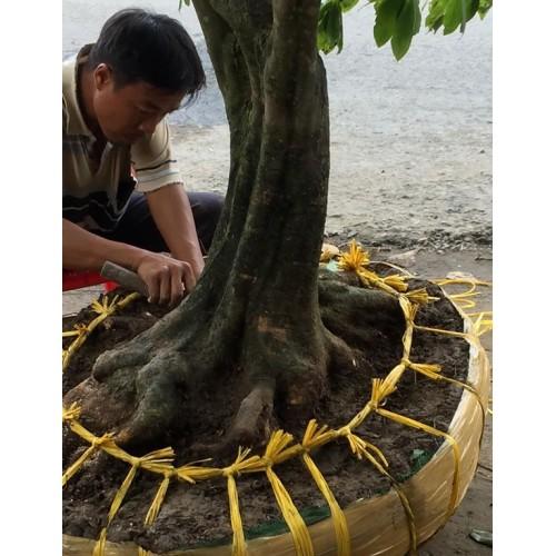 Cắt tỉa mai vàng tạo thế bonsai