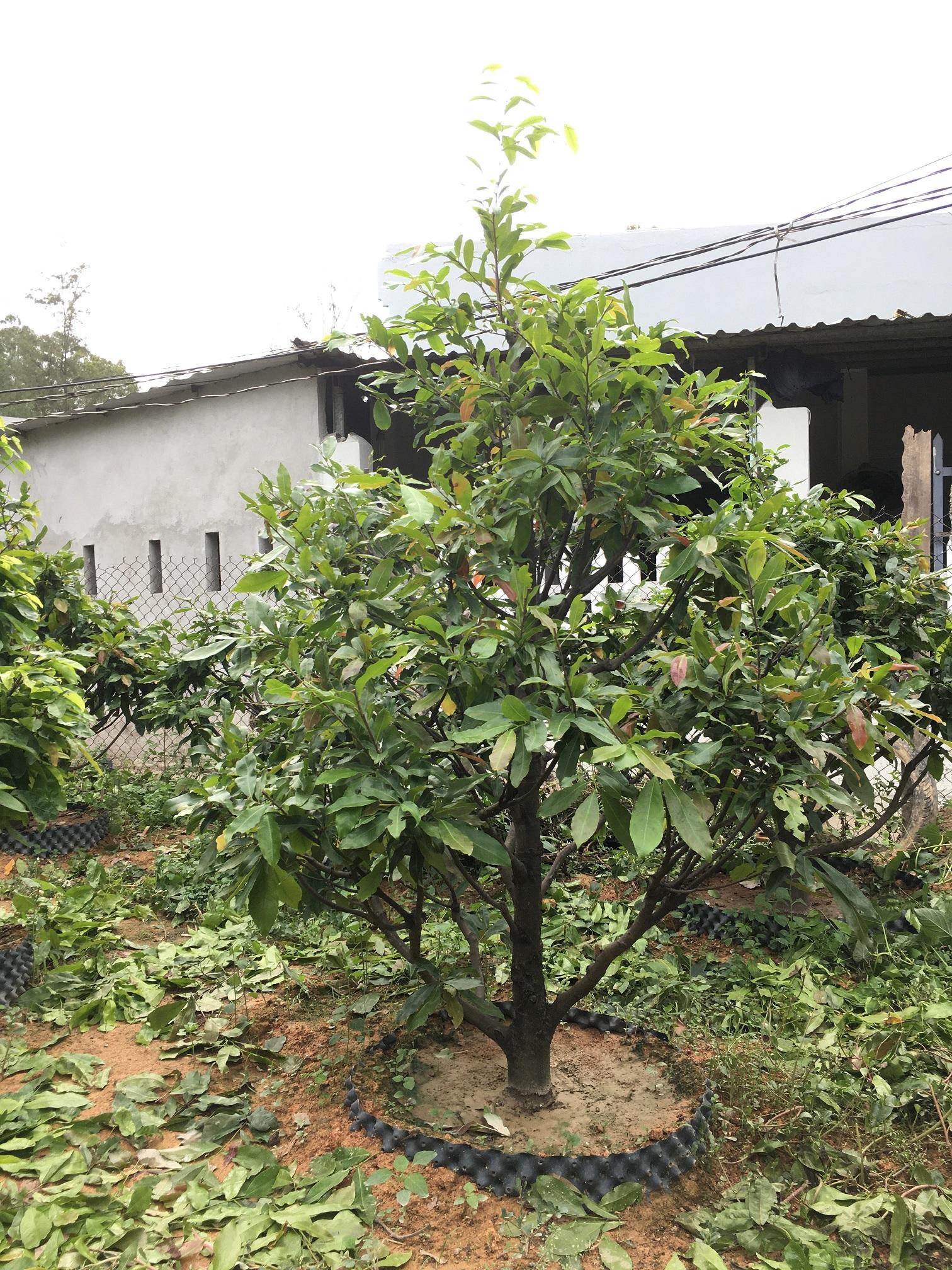 Mai giảo được trồng tại An Tịnh Viên