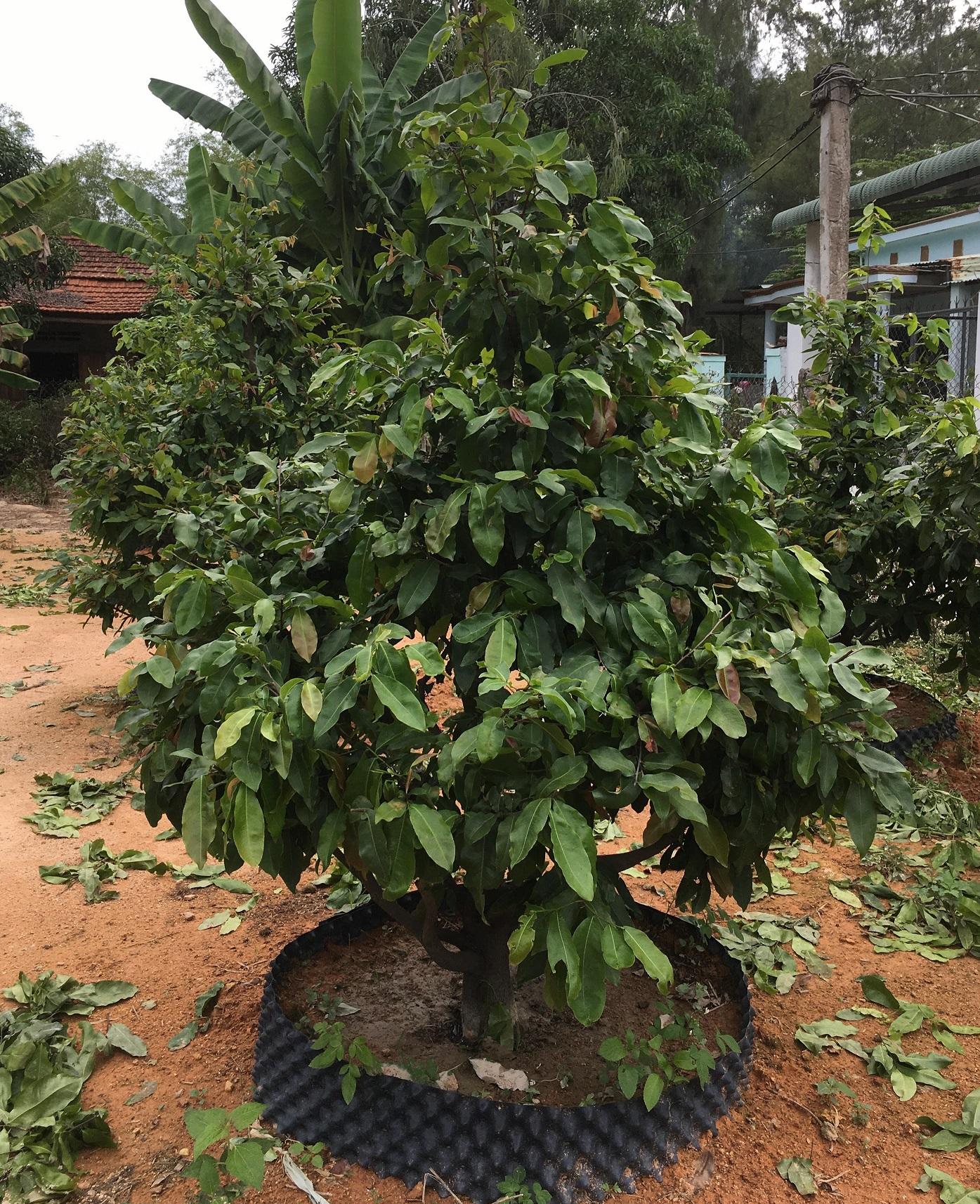 Mai giảo được trồng tại Quảng Nam