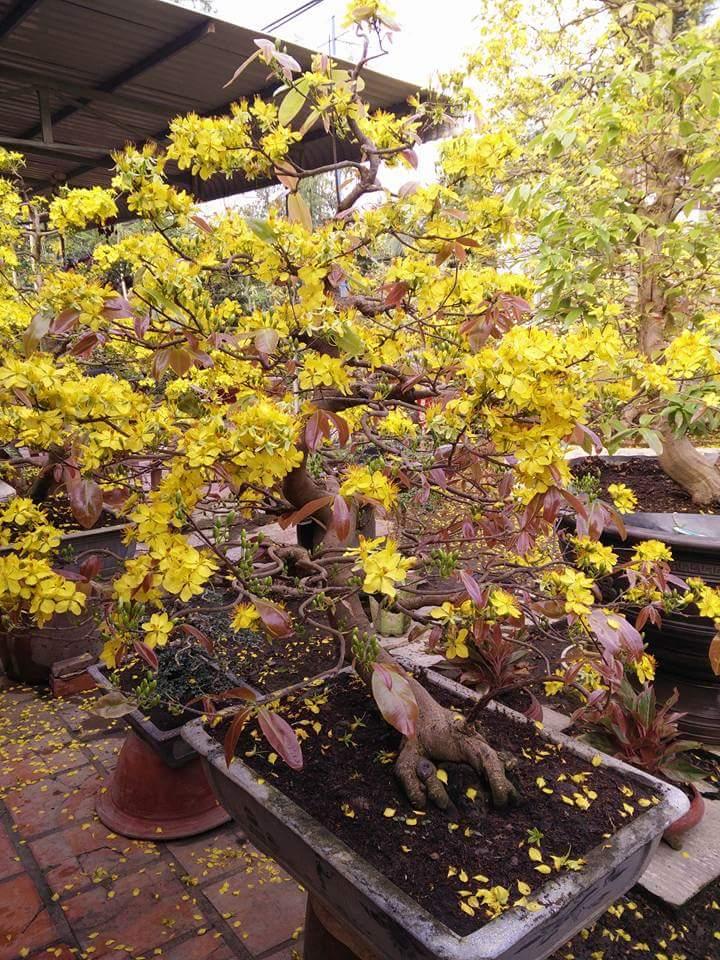 Cách chăm sóc mai vàng nở nhiều hoa