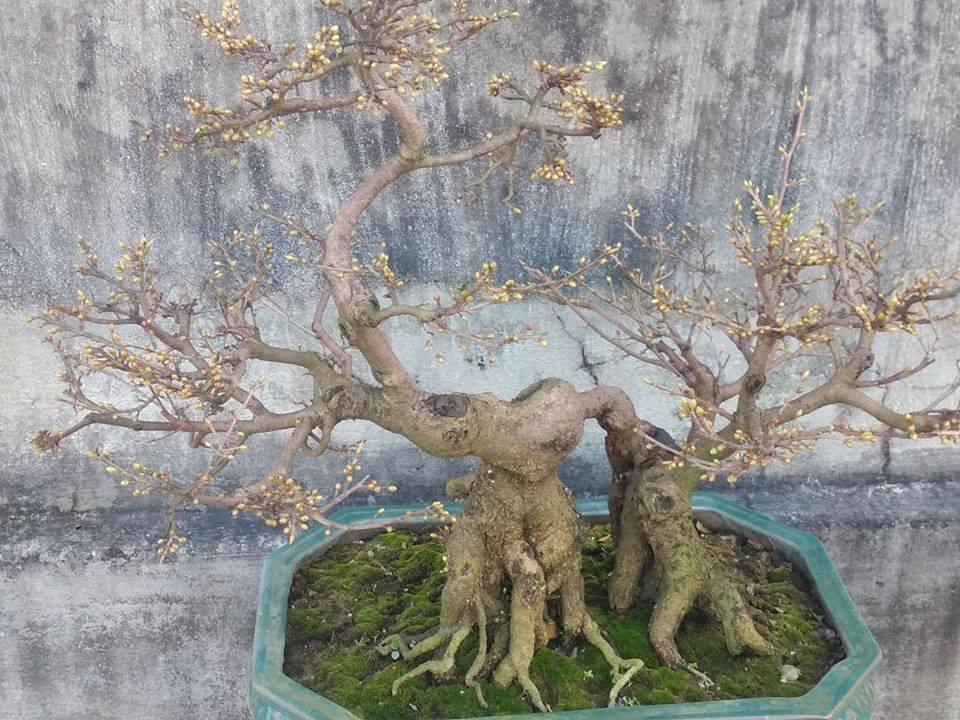 Mai bonsai đẹp