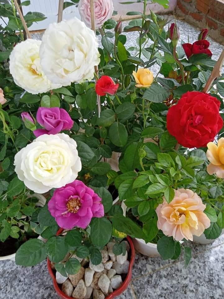 Hoa hồng chưng Tết