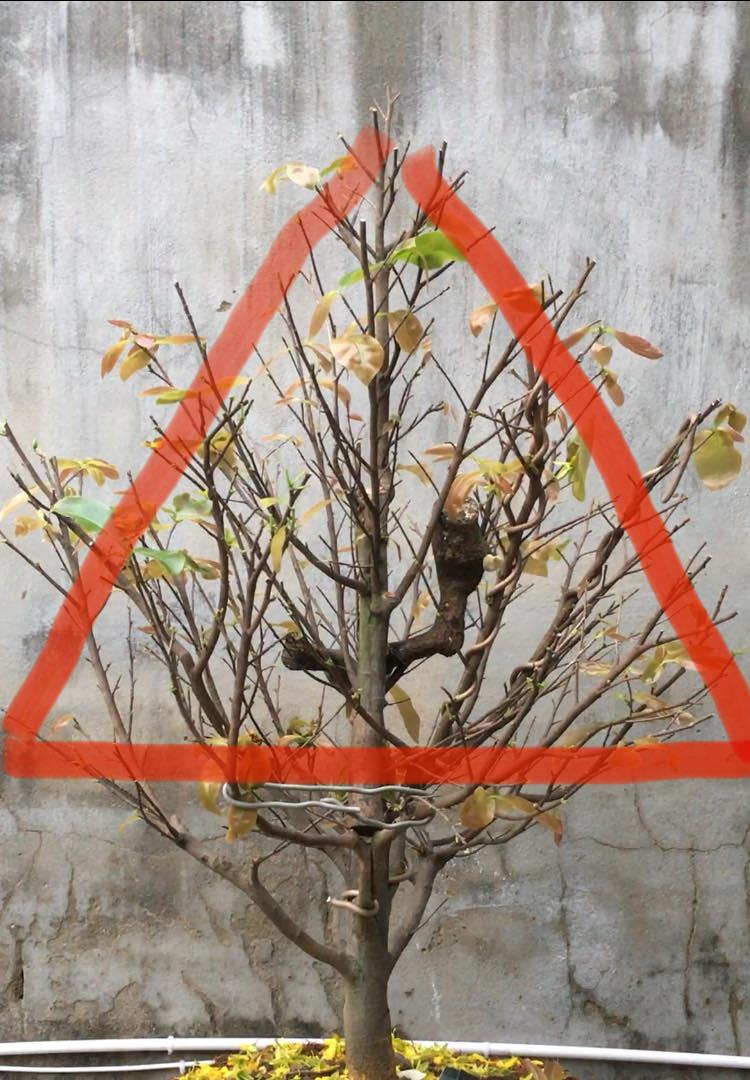 Chăm sóc cây mai sau Tết