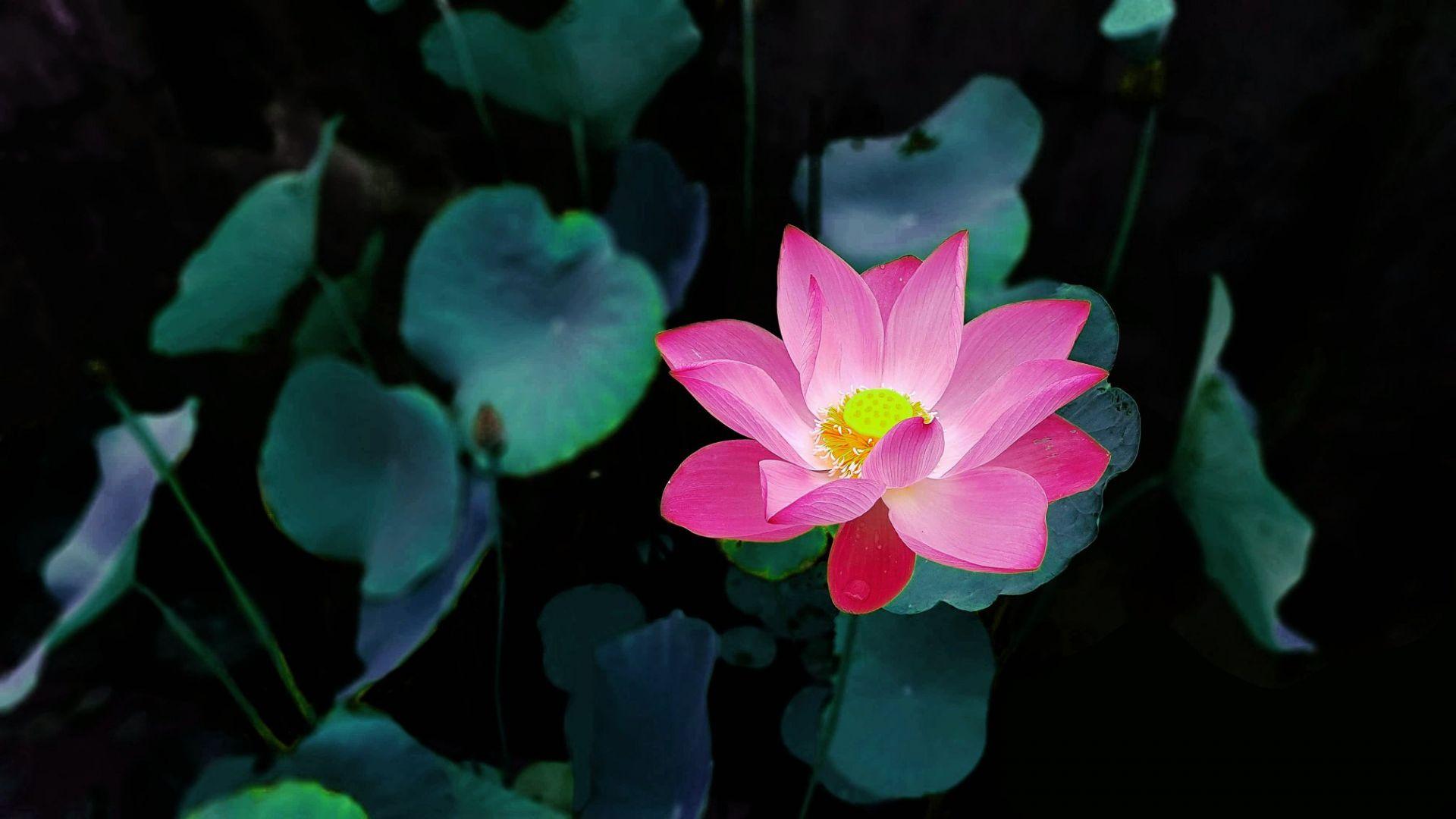 Hoa sen màu đỏ tượng trưng cho trái tim, hoa thể hiện tình yêu và lòng từ bi